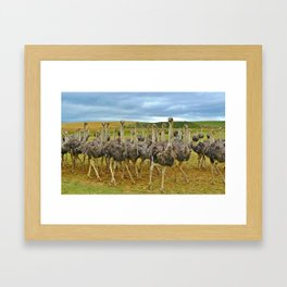Pride of Ostriches Framed Art Print