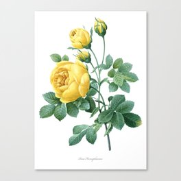 Vintage print,botanical poster of Rose Sulphur Canvas Print