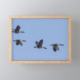 Four Dusky Canada Geese Flying Framed Mini Art Print