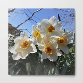 Sunny Faces of Spring - Gold and White Narcissus Flowers Metal Print