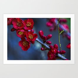 Red Flowering Quince Art Print