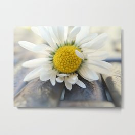 Delicate daisy Metal Print