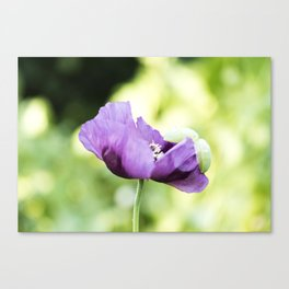 Hungarian Blue Bread Seed Poppy Canvas Print