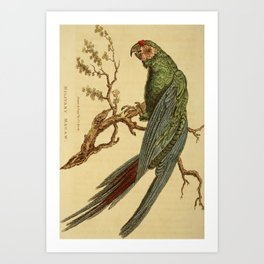 Vintage Print - Arcana or The Museum of Natural History (1811) - Military Macaw Art Print
