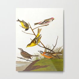 Arkansaw Siskin Bird Metal Print