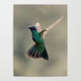 Violetear Hummingbird Poster
