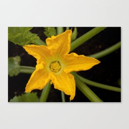 Courgette / zucchini flower Canvas Print