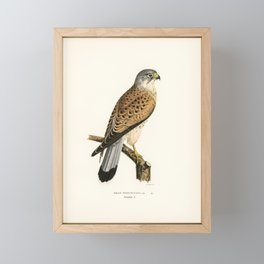Common Kestrel male (Falco tinnunculus) illustrated by the von Wright brothers Framed Mini Art Print
