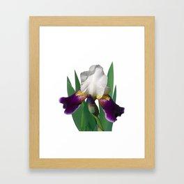 Violet and white Iris 'Wabash' Framed Art Print