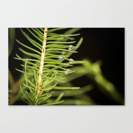 Spruce branch with drops Canvas Print