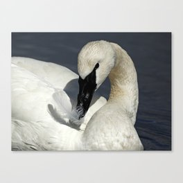 Trumpeter Swan Playing with Feather Canvas Print