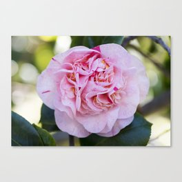 Strawberry Blonde Camellia Bloom Canvas Print