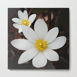 Spring woodland wildflower:  bloodroot, Sanguinaria Metal Print