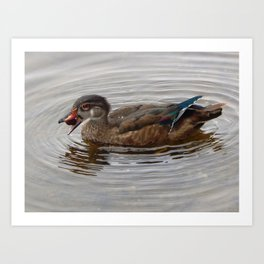 Wood duck foraging Art Print