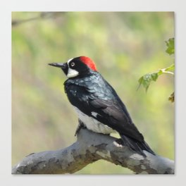 Acorn Woodpecker At Rest Canvas Print