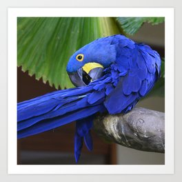 A Hyacinth Macaw Preening Its Feathers Art Print