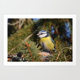 Blue tit resting on a branch conifer Art Print