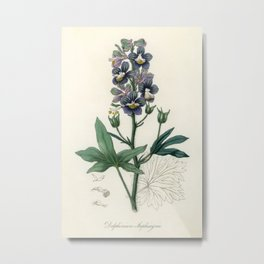 Delphinum staphisagria illustration from Medical Botany (1836) by John Stephenson and James Morss Ch Metal Print