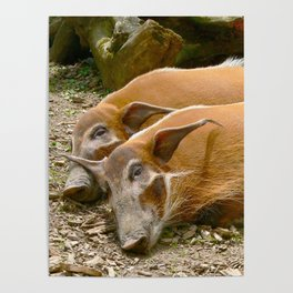 Red River Hogs taking a nap Poster