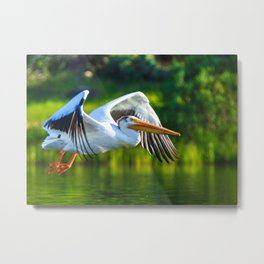 American White Pelican Flying Metal Print