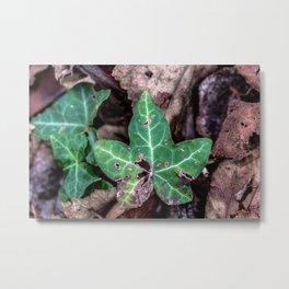 Ivy leaf Metal Print