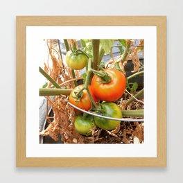 Tomatoes on the Vine  Framed Art Print