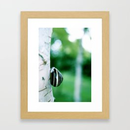 Snail on Silver Birch Framed Art Print