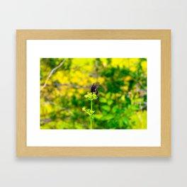 Spicebush Swallowtail Butterfly Framed Art Print