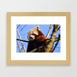 Red Panda In A Tree Framed Art Print