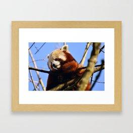 Red Panda In A Tree Framed Art Print
