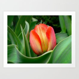 Young Red Tulip with Green Leaves ~ Close Up of Flower Bloom in a Spring Tulip Bed Art Print