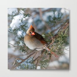 First Winter (Female Cardinal) Metal Print