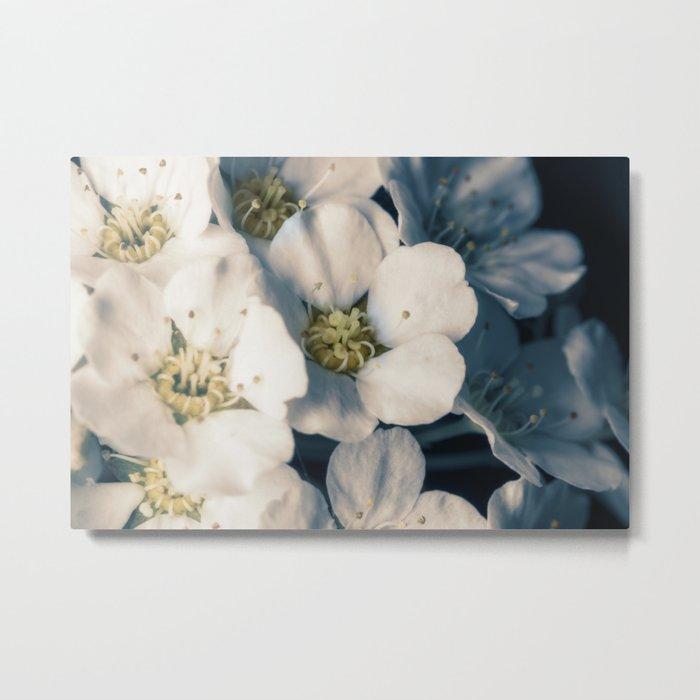 Bridal wreath flowers Metal Print
