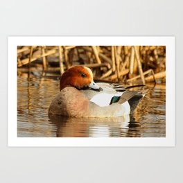 Eurasian Wigeon at the Pond Art Print