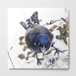 Grackle and Snow once more Metal Print