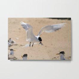 Crested Tern Hovering Metal Print
