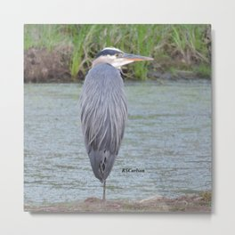 Blue Heron at Hillsboro Pond Metal Print