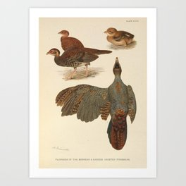 BORNEAN & SIAMESE CRESTED FIREBACKS Art Print