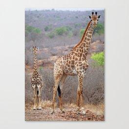 Giraffes on the street, Africa wildlife Canvas Print