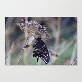 Butterfly emerging from cocoon Canvas Print