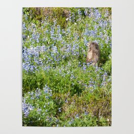 Marmot and wild flowers at Mount Rainier Poster