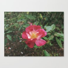 A rose must remain with the sun and the rain Canvas Print