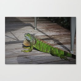 Cayman Iguana I Canvas Print