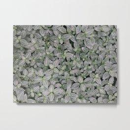 Fittonia albivenis Metal Print