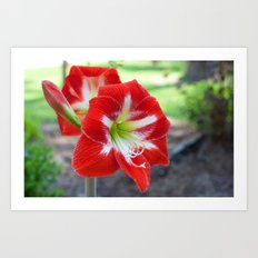 Red Amaryllis Flowers Art Print
