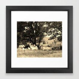 Charolais Family Cattle Photo Framed Art Print