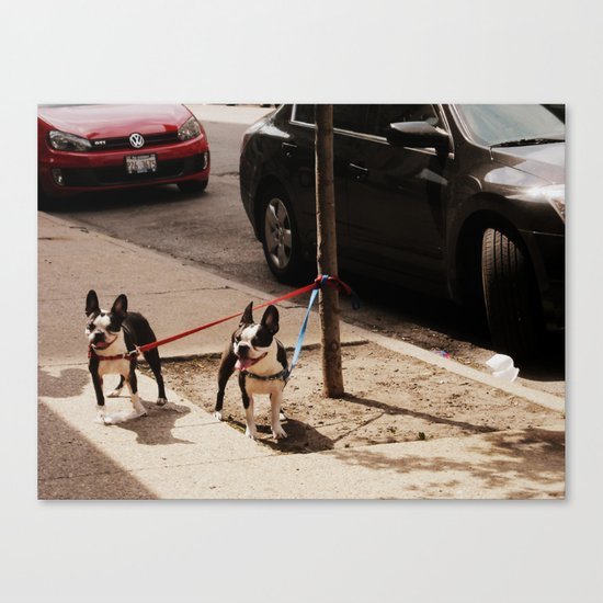 Boston Terriers ~ amped up for action! Canvas Print