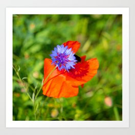 Cornflower kisses poppy Art Print