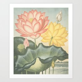 Pastel Flowers : The Sacred Egyptian Bean: New Illustration Of The Sexual System Art Print
