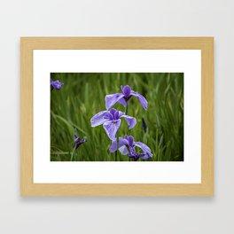 Sankeien Garden Iris Framed Art Print
